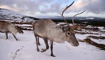Foto Por crisis climática mueren casi 200 renos en el Ártico 31 julio 2019