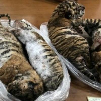 Encuentran siete tigres bebés congelados al interior de un carro