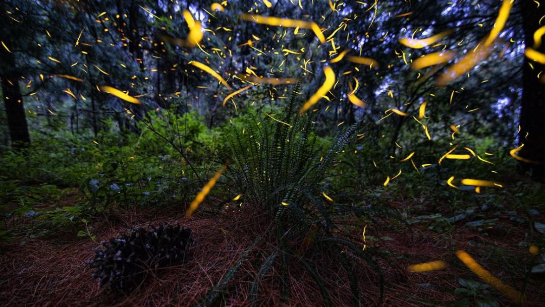 Foto: En Tlaxcala comenzó la temporada de avistamiento de luciérnagas, 19 julio 2019