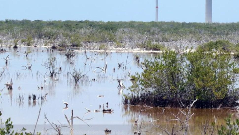 Imagen: El mangle es una especie protegida, su comercio está prohibido y con la reforestación se mejora el control de gases, 5 de agosto de 2019 (Twitter @NovedadesYuc, archivo)
