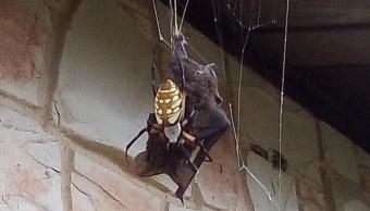 Foto: Una araña bananera atrapó un murciélago con su telaraña para devorarlo, 10 agosto 2019