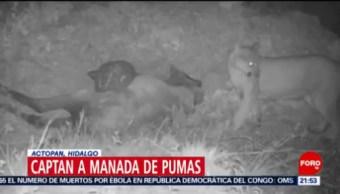 FOTO: Captan a manada de pumas en Actopan, Hidalgo, 24 Agosto 2019