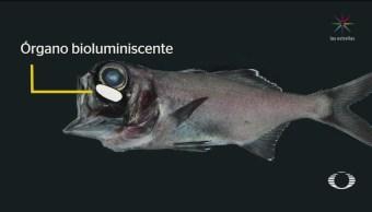 Foto: Científicos Estudian Bioluminiscencia Pez Linterna 16 Agosto 2019