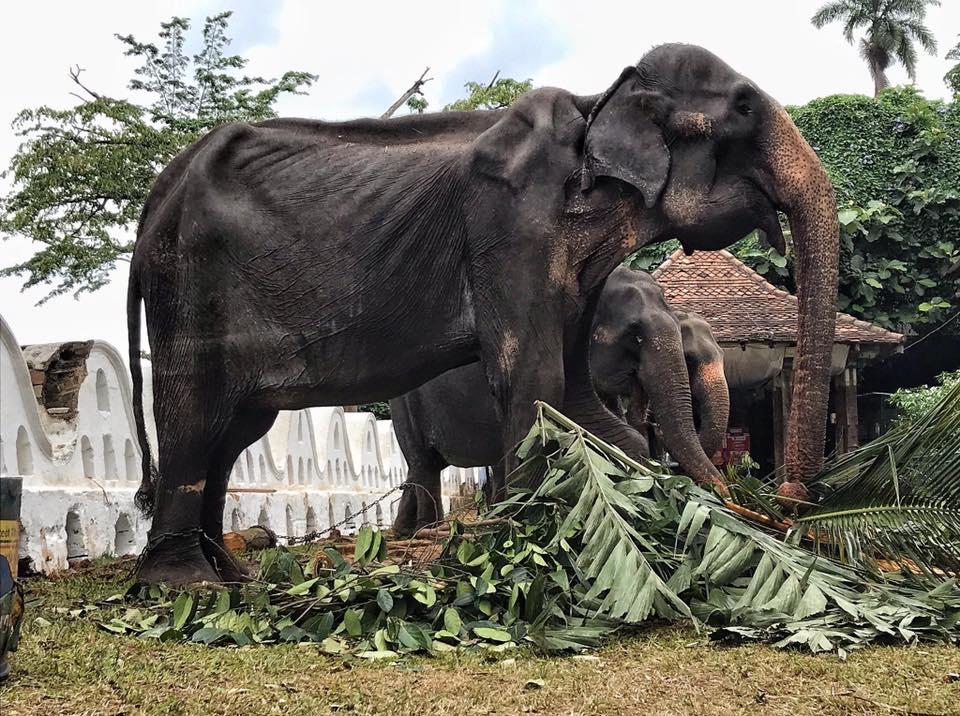 Sri-Lanka-elefante-maltrato-animal-apariencia-esqueletal