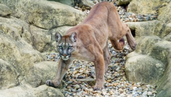 Foto: Los videos muestran a los felinos caminando de una manera extraña y dificultosa, 21 de agosto 2019. (Getty Images)
