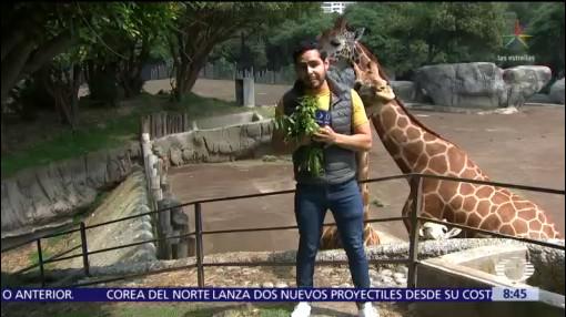 Jirafas, nuevos huéspedes del Zoológico de Chapultepec