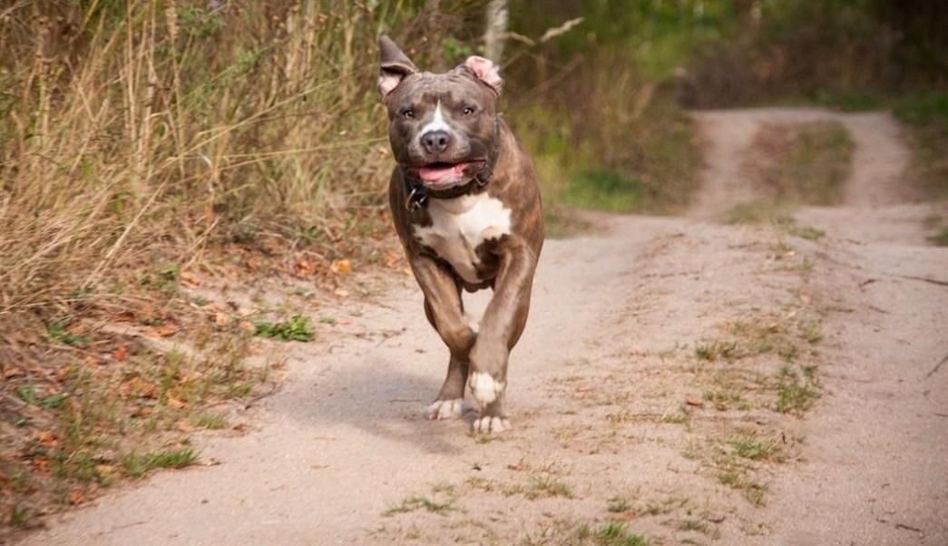 Perro pitbull mata a niño de dos años
