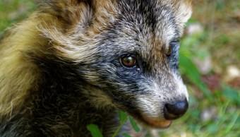 Foto:Que es un perro mapache. 19 agosto 2019