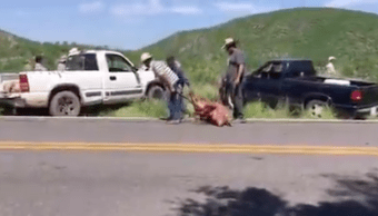 Foto Vuelca trailer que llevaba cerditos; pobladores roban animales 16 agosto 2019