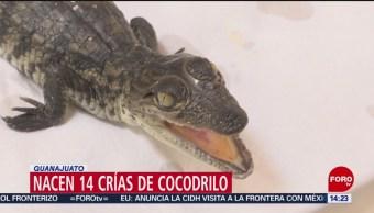 FOTO: Zoo en León logra la reproducción de 14 crías de cocodrilo, 18 Agosto 2019
