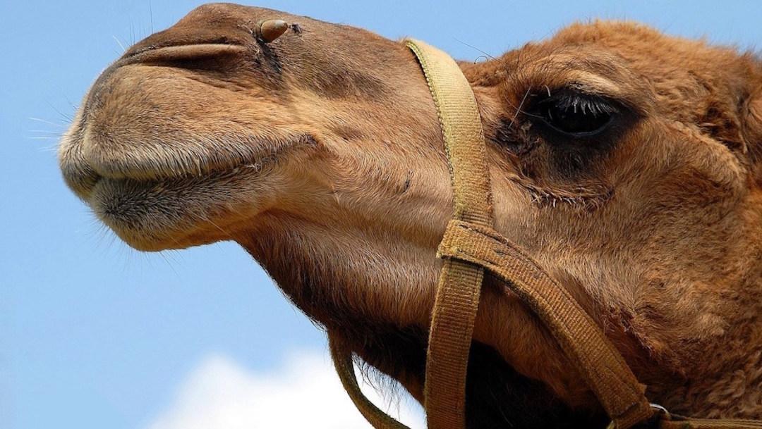 Foto Mujer muerde testículos a camello para salvar su vida 26 septiembre 2019