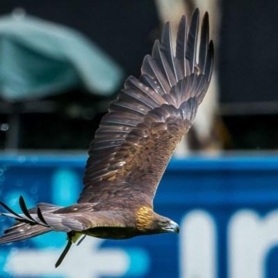 Club América presenta proyecto para conservar al águila real