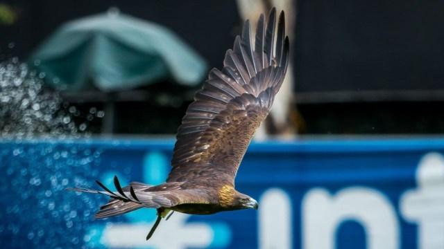 Foto: Club América presenta proyecto para conservar el águila real, el 27 de septiembre de 2019 (Twitter @ClubAmerica)