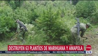 FOTO: Destruyen 63 plantíos de marihuana y amapola en seis estados, 15 Septiembre 2019