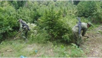 Foto: La Sedena destruyó varios plantíos de marihuana en seis estados, 15 de septiembre de 2019 (SSyPC)