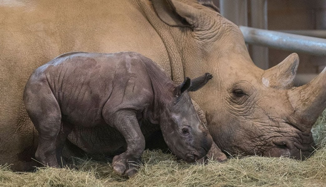 Foto: Rinoceronte Blanco, 12 de septiembre de 2019 (Twitter @Impacto_Vzla)