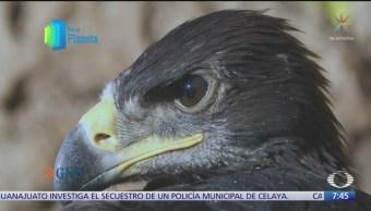 El águila real, en peligro de extinción