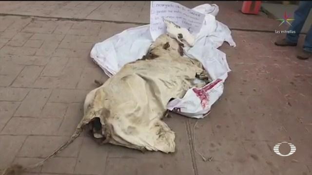 Foto: Durango Productores Campo Llevan Vaca Muerta Sagarpa 5 Septiembre 2019
