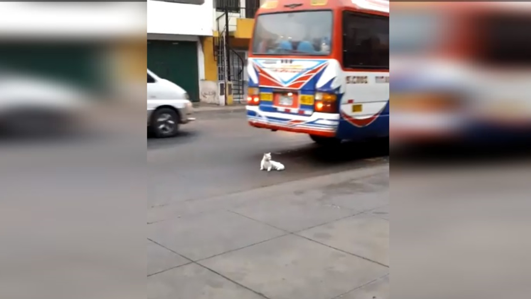Foto:Un gato está recostado sobre una avenida principal en calles de Perú, 14 septiembre 2019