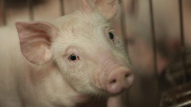 FOTO México se prepara para ataque biológico de peste porcina (Twitter)