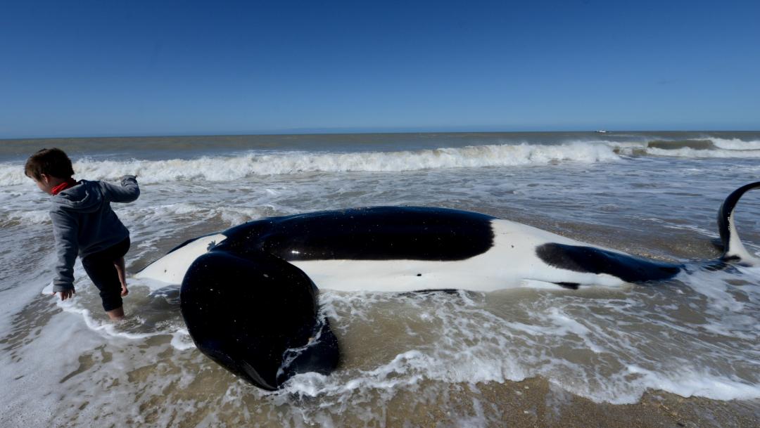 Foto: Los investigadores analizaron imágenes de satélite que abarcan miles de kilómetros de las costas y permiten identificar forma, tamaño y color de los cetáceos, 18 de octubre de 2019, (AP, archivo)