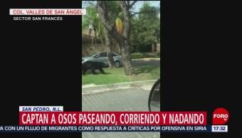 FOTO: Video Osos Corriendo Jugando San Pedro Nuevo León