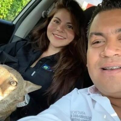 'Pancho', el coyote rescatado tras ser confundido por un perro, lucha por su vida