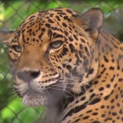 Jaguar, el felino más grande de América, pero el más amenazado