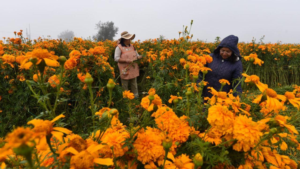 Foto: Pobladores de San Francisco Putla en Tenango Del Valle cortan la flor de cempasúchil utilizada en el festejo de Día de Muertos, el 31 de octubre de 2019 (Foto: Crisanta Espinosa Aguilar /Cuartoscuro.com)