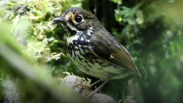 "Foto: El ""Tororoi Bailador"" es un ave de plumaje café. Twitter/@AlcaldiaDeCali"