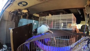 Foto: Una mujer vivía con 320 ratas en su camioneta en San Diego, California, EEUU. Twitter/@sdut