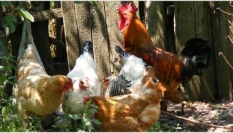 Imagen: Dueños fueron multados por los cacareos de sus gallos, 27 de octubre de 2019 (Pixabay)