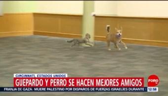 Guepardo y perro se hacen amigos en zoo de Cincinnati