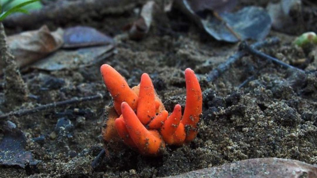 FOTO Descubren hongo tóxico que encoge el cerebro, cerca de la Gran Barrera de Coral de Australia (RAy Palmer/abc.net.au)