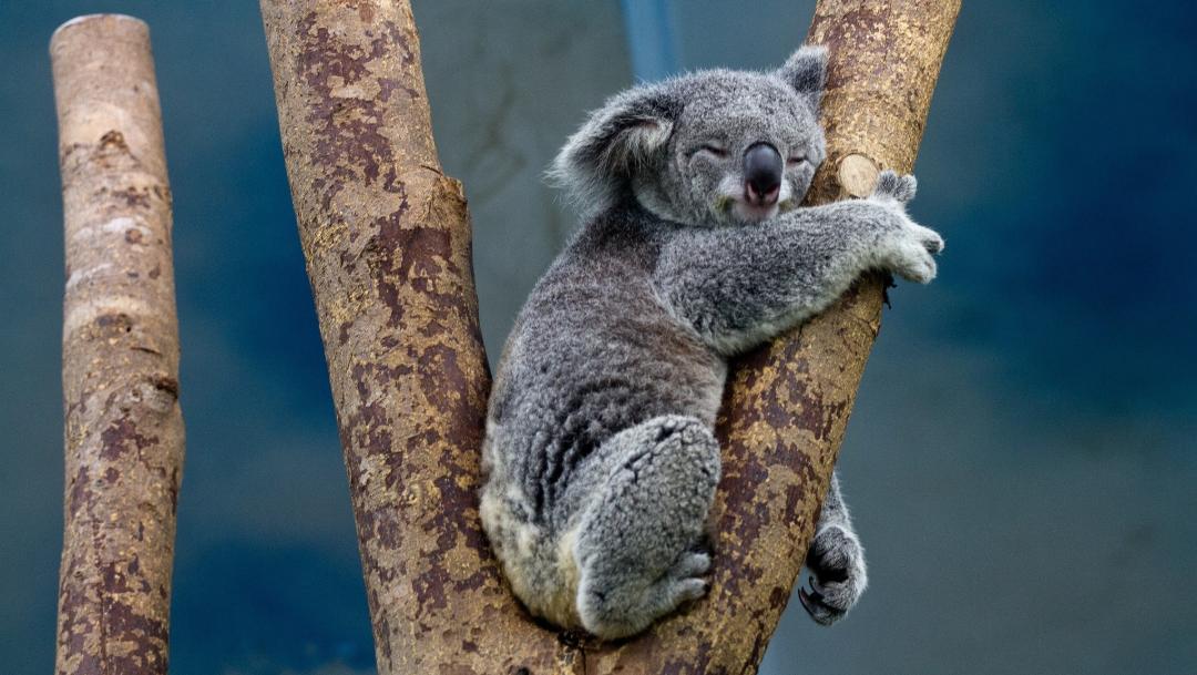 Foto: Los incendios forestales en Australia arrasaron un área del hábitat de koalas, 30 de octubre de 2019 (Pixabay, archivo)