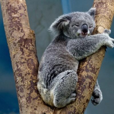 Temen muerte de 350 koalas por incendios en Australia