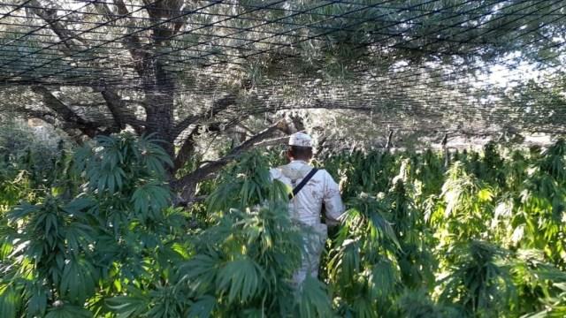Queman plantío de marihuana en Ensenada, Baja California