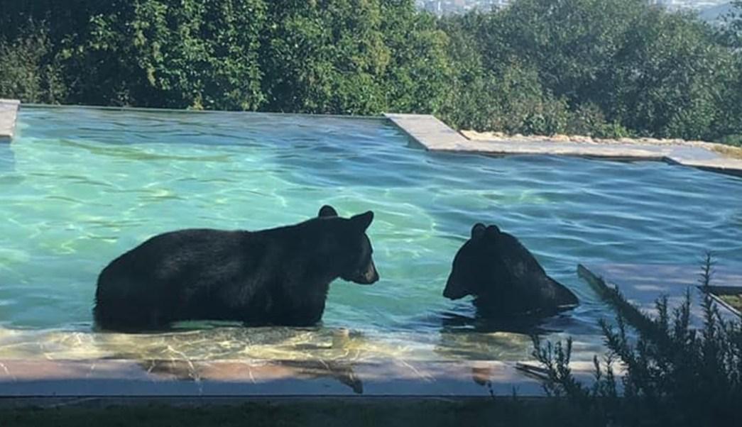 Foto: Captan a osos 'paseando' en San Pedro, Nuevo León, 10 de octubre de 2019, (Nomada.news)