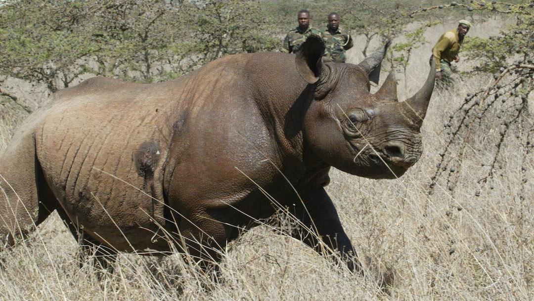 Rinocerontes-negros-peligro-extincion-caza-furtiva-Botsuana