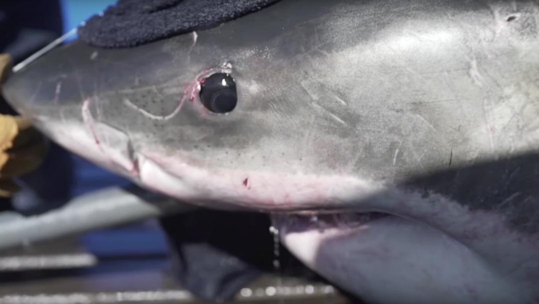 Foto:Unama'ki, tiburón blanco de 5 metros de largo. , 30 octubre 2019