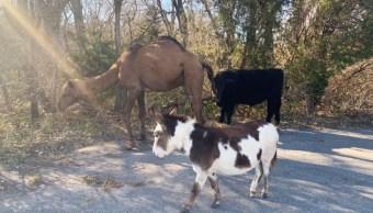 Un camello, una vaca y un burro recorren calles de Kansas