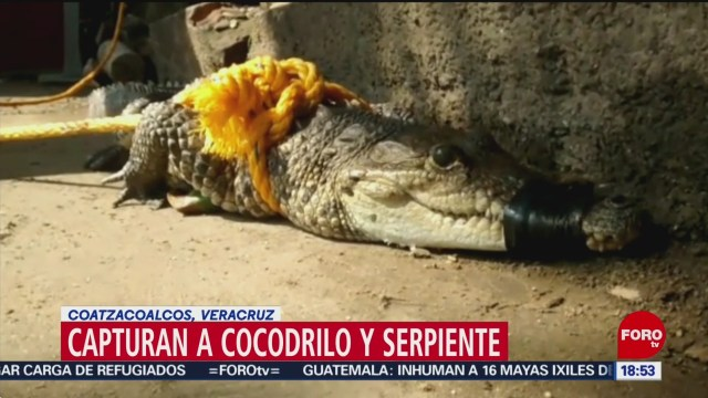 FOTO: Capturan cocodrilo y serpiente en Veracruz, 28 noviembre 2019