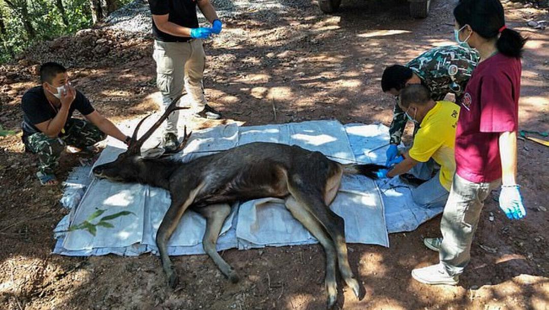 ciervo muerto 1
