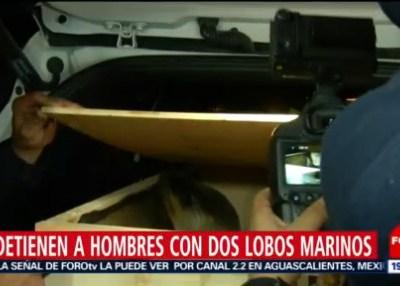 Detienen a hombres con dos lobos marinos en CDMX
