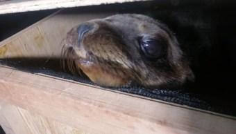 Foto: Los dos lobos marinos quedaron en custodia de autoridades de la Ciudad de México. SCC
