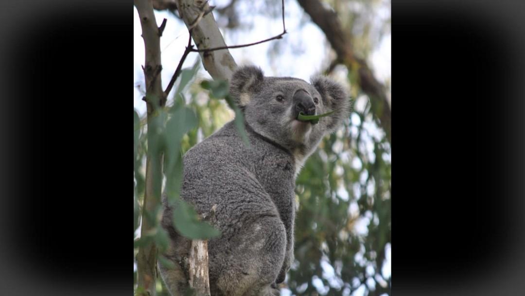 Foto: Incendios en Australia han destruido 80% del hábitat de los koalas