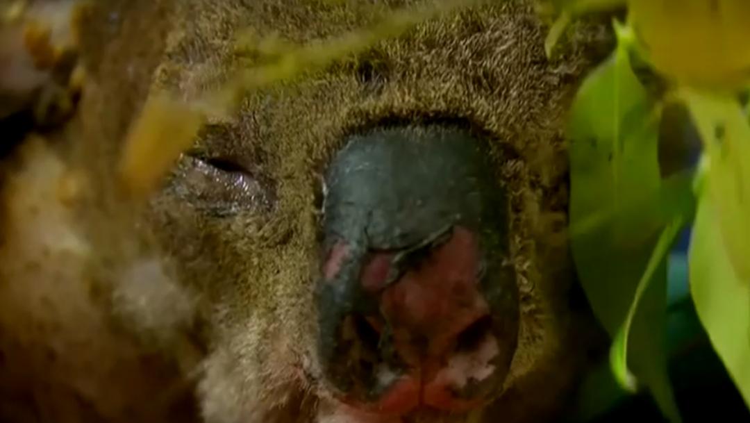 FOTO Koalas, indefensos ante incendios en Australia (Reuters)