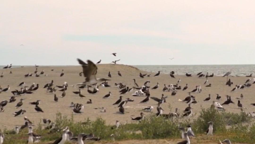 Foto: Aves playeras huyen del frío y viajan a México