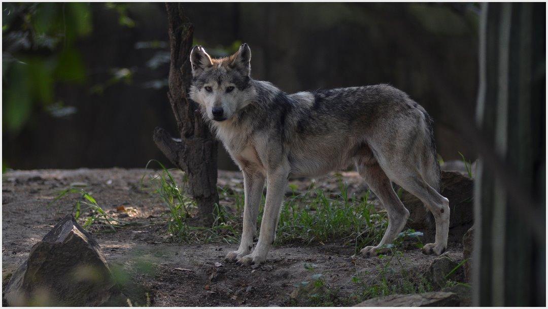 Imagen: Realizan eutanasia a hembra de lobo mexicano en Aragón, 30 de noviembre de 2019 (ADOLFO VLADIMIR /CUARTOSCURO.COM)
