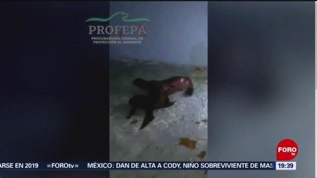 Foto: Lobos Marinos Rescatados Zoológico Chapultepec 22 Noviembre 2019